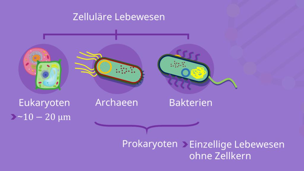 Prokaryoten, Eukaryoten, Bakterienzelle, Archaeen
