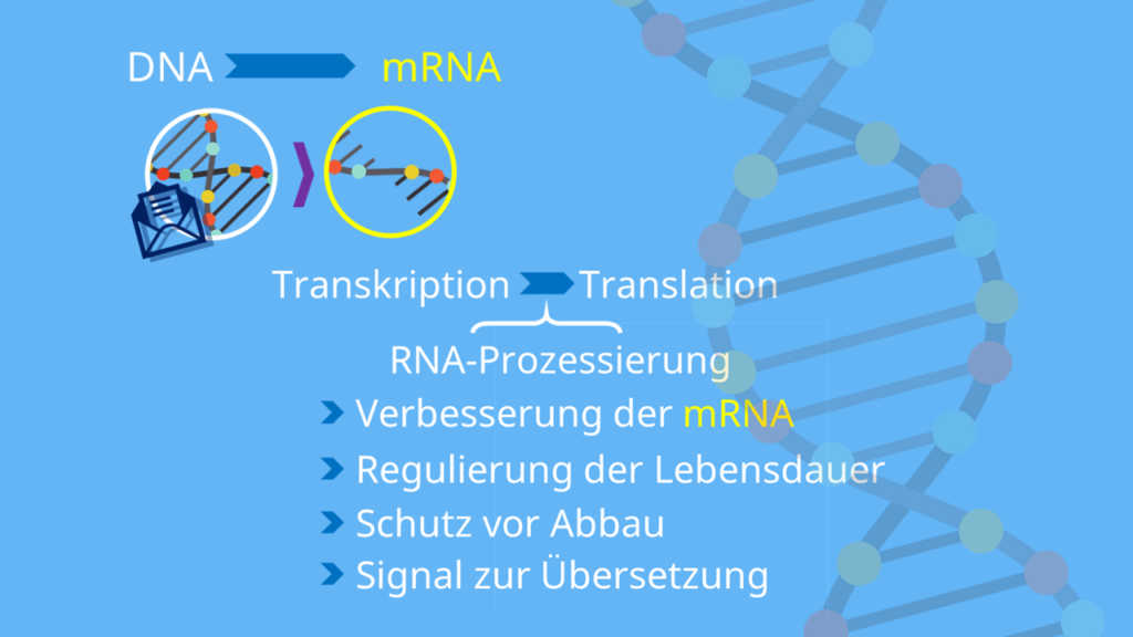 Eukaryoten, Translation, Transkription, Proteinbiosynthese, RNA Prozessierung