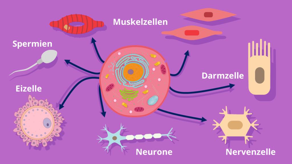 Muskelzellen, Eukaryoten, Nervenzellen, Darmzellen, Genregulation