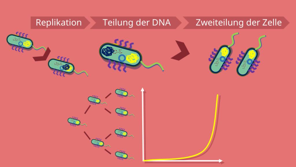Nucleoid, Zellwand, Bakterienzelle, Prokaryoten, DNA, exponentielles Wachstum, asexuell