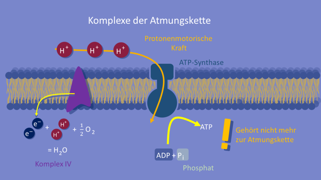 ATP-Synthase, ATP, Zellatmung, oxidative Phosphorylierung, Atmungskette, Mitochondrien, Membran