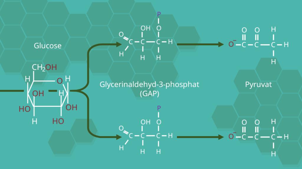 Ablauf, Glykolyse, Pyruvat, ATP, Adenosintriphosphat, Adenosindiphosphat, ADP