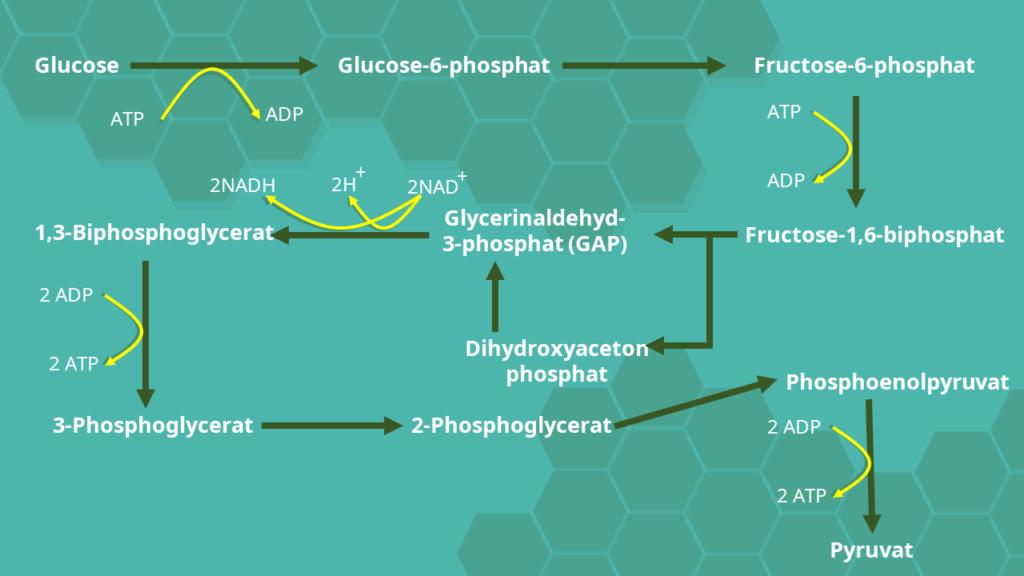 Glykolyse, Cytoplasma, ATP, NAD, Glucosestoffwechsel, Substatkettenphosphorylierung, anaerob, aerob, Kinasen, Pyruvat, Glucose