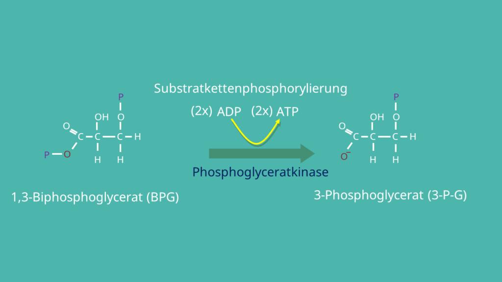 Glykolyse, 3-Phosphoglycerat, 1,3-Bisphosphoglycerat