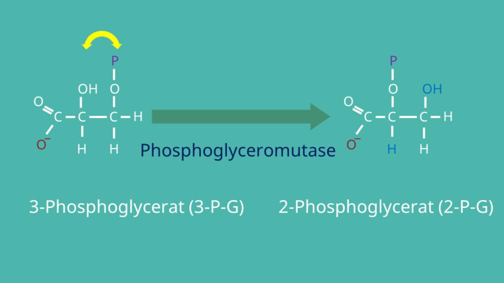 Glykolyse, 2-Phosphoglycerat, 3-Phosphoglycerat