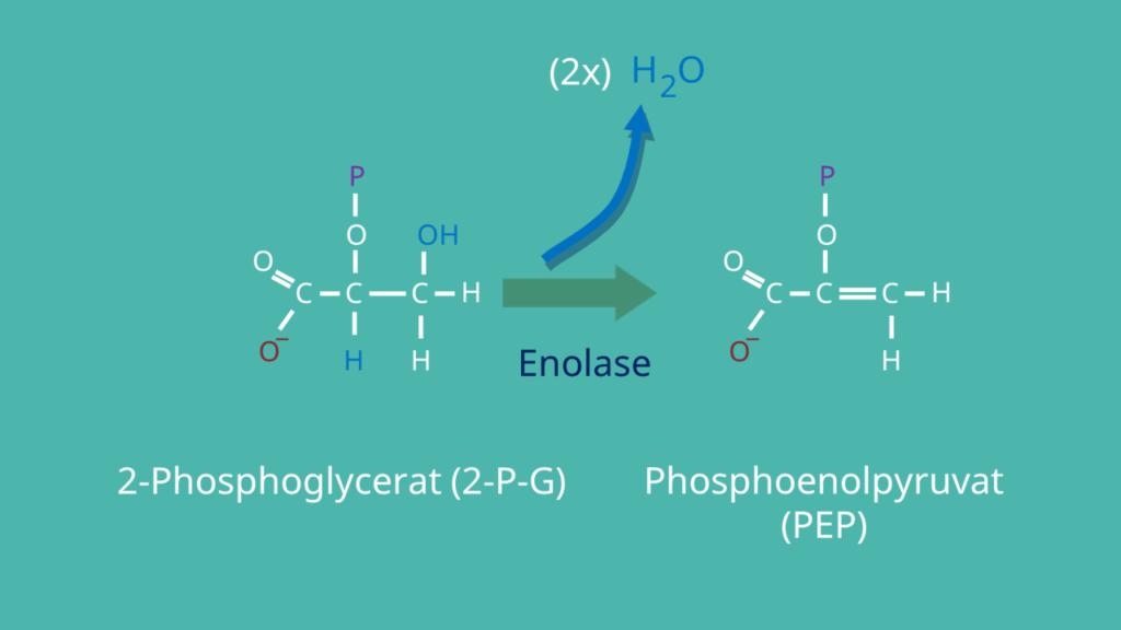 Glykolyse, Phosphoenolpyruvat, 2-Phosphoglycerat