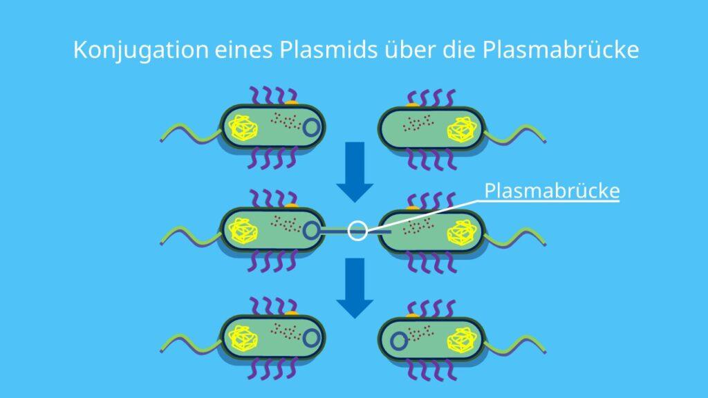 Plasmid, Plasmide, Plasmabrücke, Konjugation
