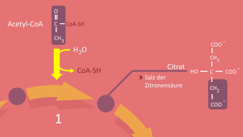 Citratzyklus