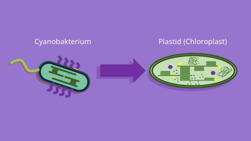 Endosymbiontentheorie, Cyanobakterium, Plastiden
