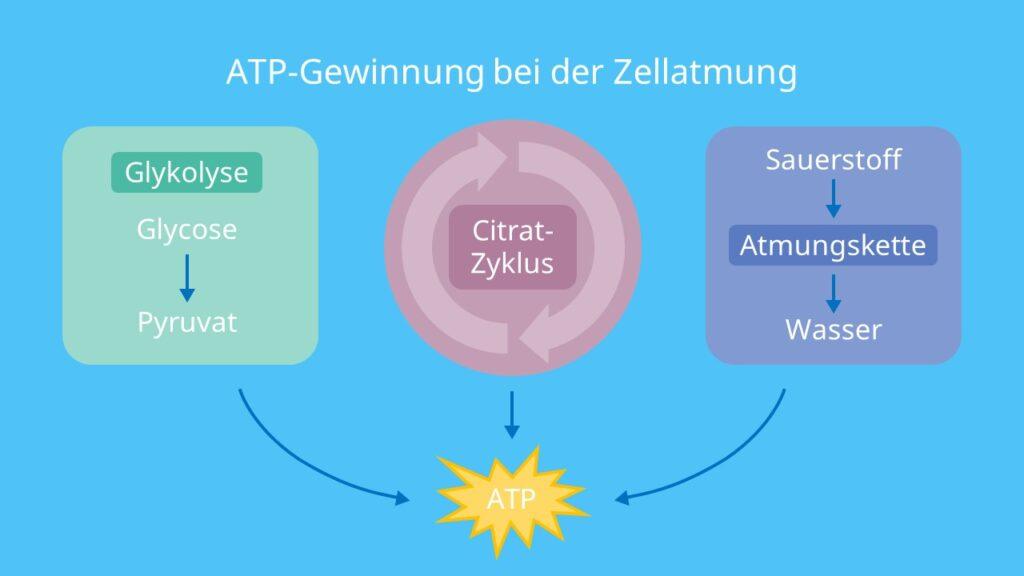 ATP-Gewinnung bei der Zellatmung, Glycolyse, Citratzyklus, Atmungskette, Adenosintriphosphat, Energie