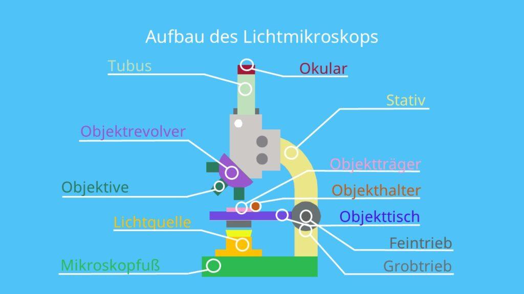 Aufbau des Lichtmikroskops, Okular, Objektiv, Linsensysteme, Mikroskop