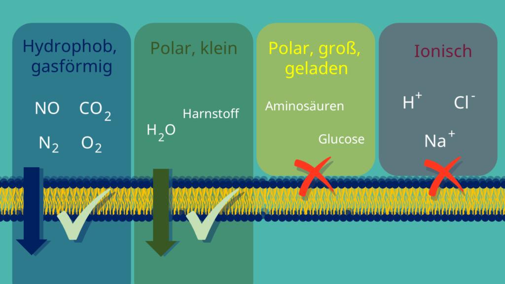 Semipermeable Membran, Phospholipide, Biomembran, Zellmembran, Phospholipid-Doppelschicht, hydrophil, hydrophob, Diffusion, Membranproteine, Energie, ATP