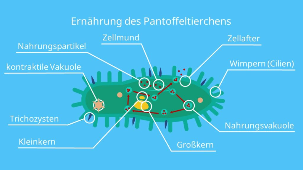 Ernährung des Pantoffeltierchens, Nahrungsvakuole, Kotvakuole, Phagozytose, Endozytose, Exozytose, Mundfeld, Wimpern