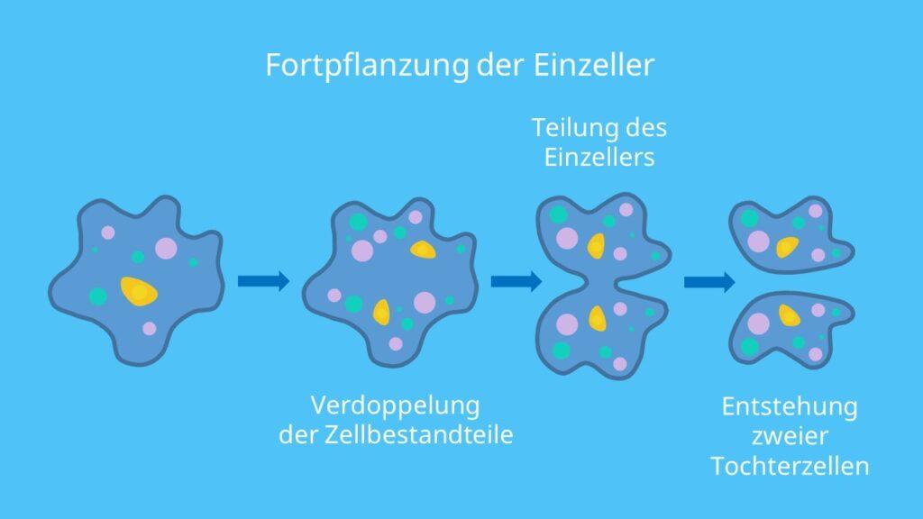 Fortpflanzung der Einzeller, Querteilung, Längsteilung, ungeschlechtliche Fortpflanzung, Mitose