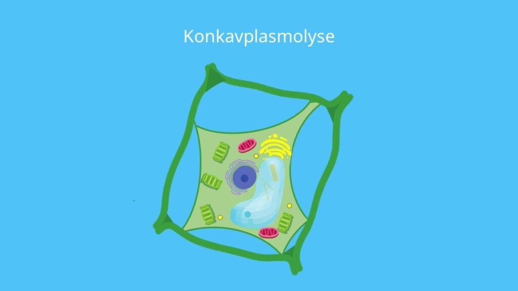 Protoplast, Plasmolyse, Pflanzenzelle, konkav