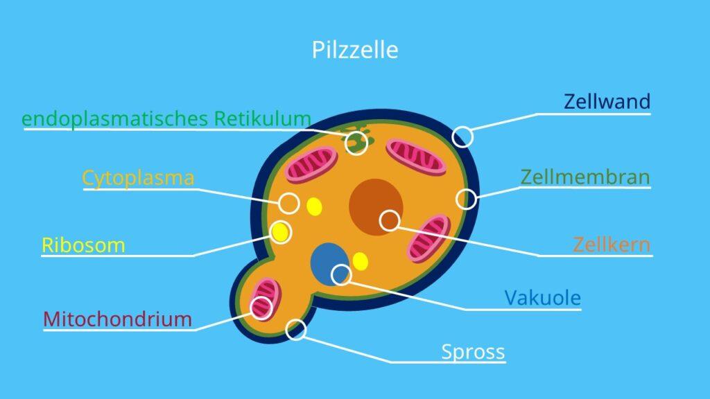 Pilzzelle, Pilzzellen, Biologie, Zelle