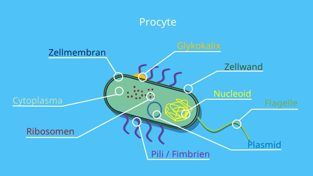 Bakterienzelle, Prokaryot, Zelle, Prokaryoten, Aufbau, Procyte