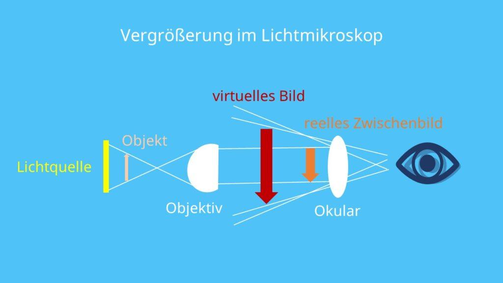 Vergrößerung im Lichtmikroskop, Objektiv, Okular, Linsen, Vergrößerung, reelles Bild, virtuelles Bild