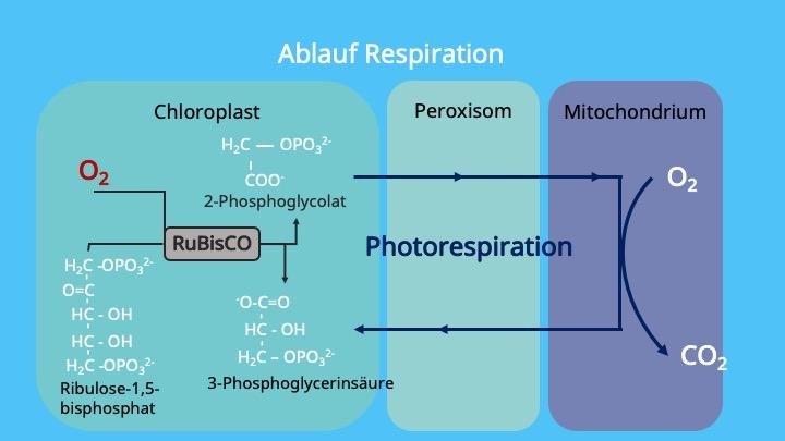 Peroxisomen, Mitochondrien, Chloroplast, RubisCo, Oxygenierung, 2-Phosphoglycolat
