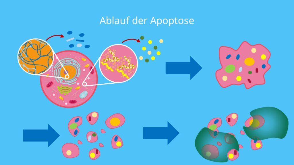 Cytoskelett, Zellschrumpfung, Apoptosekörper, Apoptosekörperchen, Zelltod, Makrophagen, Phagozytose