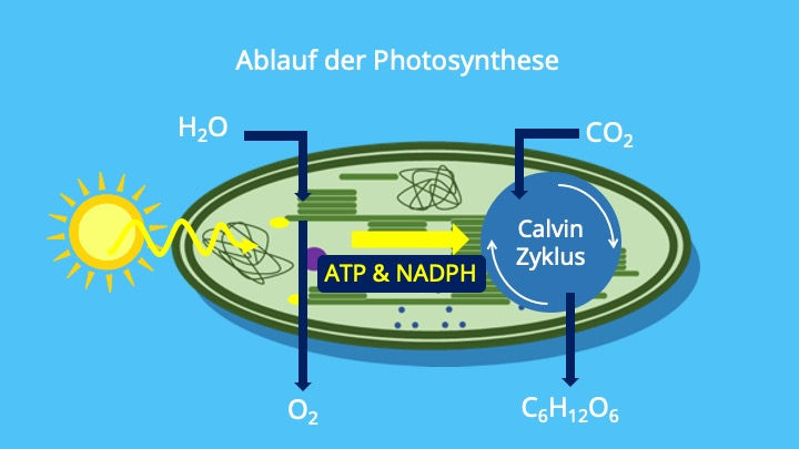 Lichtreaktion, Dunkelreaktion, Chloroplasten, Calvin Zyklus, ATP, NADPH, Glucose, Stroma, Thylakoide