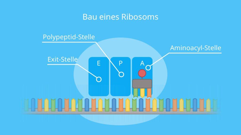 Bau eines Ribosoms, Ribosom, Stellen, Aminoacyl, Polypeptid, Exit, Proteinbiosynthese, Translation, mRNA