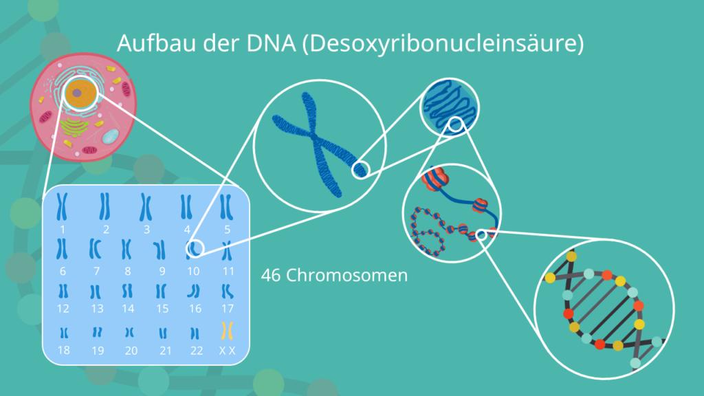 Chromosom, Histon, Nukleosom, DNA, Doppelhelix, supercoils, Centromer