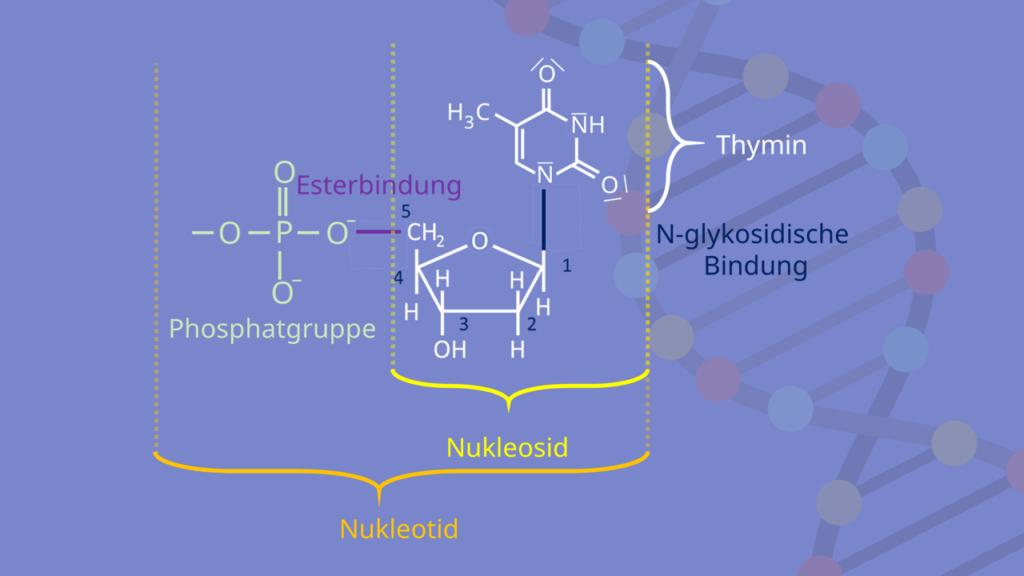 Nukleosid, Nukleotid, N-glykosidsiche Bindung, Base, Esterbindung, Phosphat, Zucker, DNA, RNA