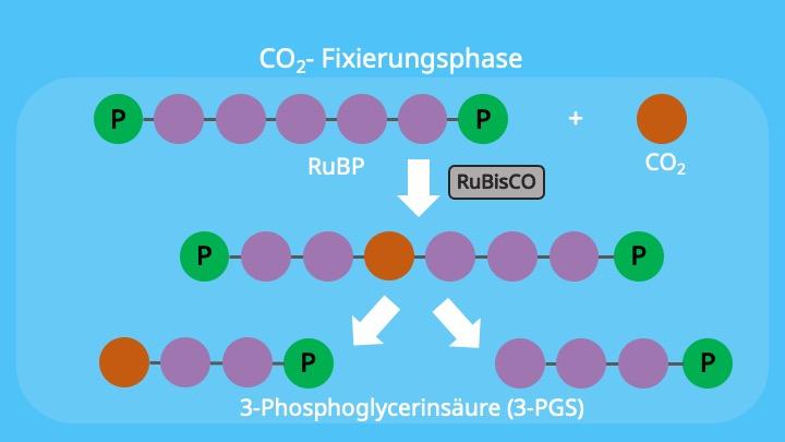 Calvin-Zyklus, RubisCo, Chloroplasten, Stroma, Ribulose-1,5-bisphosphat, 3-Phosphoglycerinsäure