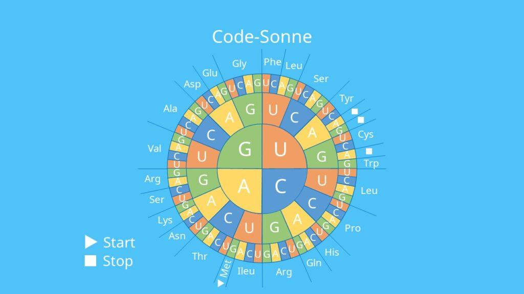 Code-Sonne, Aminosäure, Triplett, Basen, genetischer Code, Translation
