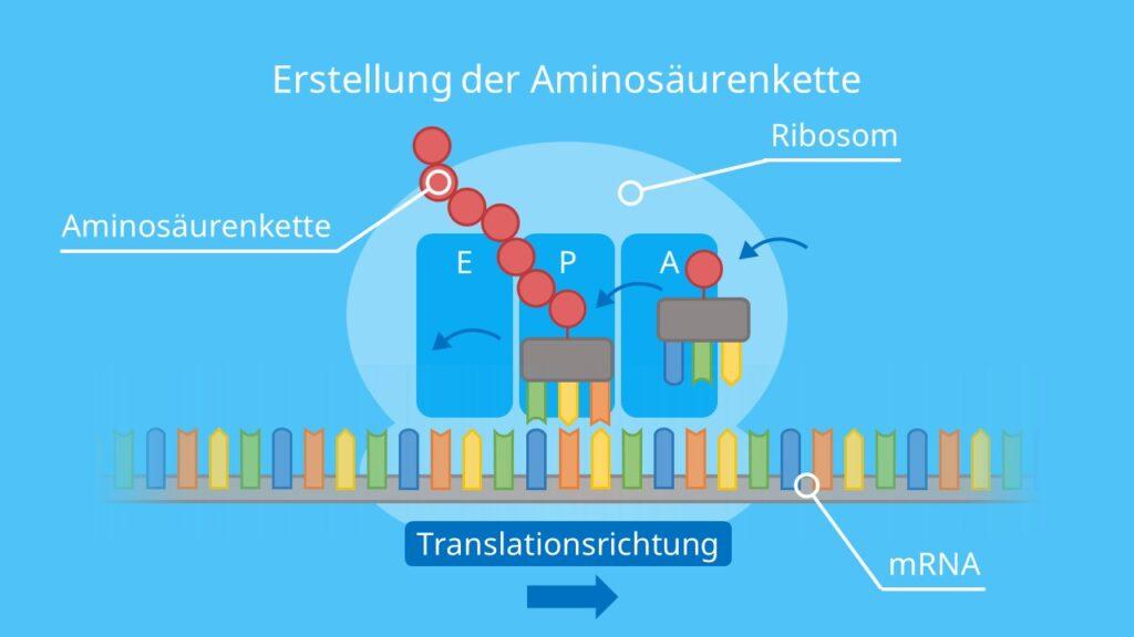 Erstellung der Aminosäurenkette, Alongation, Proteinbiosynthese, Translation, Ribosom, Protein, tRNA, mRNA
