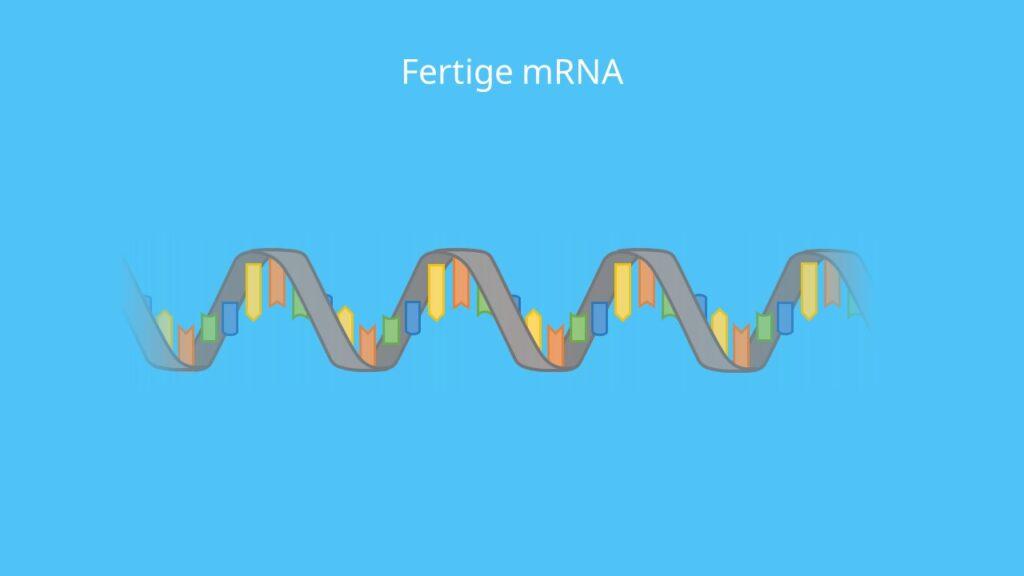 fertige mRNA, RNA, Transkription, Proteinbiosynthese, Einzelstrang