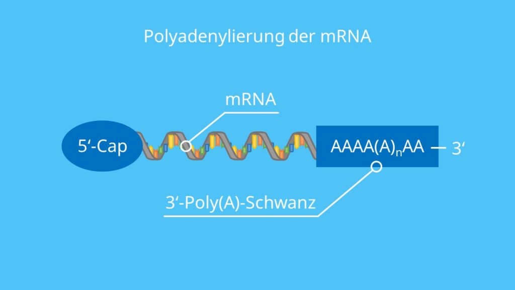 Polyandenylierung der mRNA, RNA-Prozessierung, Poly-A-Schwanz, 5'-Cap, RNA, Proteinbiosynthese