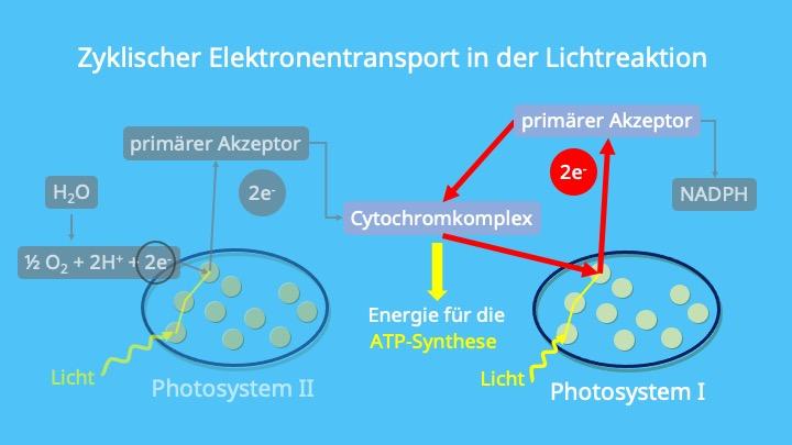 Photosynthese, Photosystem I, Plastochinon, Chloroplasten, Thylakoidmembran, Elektronentransportkette, ATP-Synthase, Photophosphorylierung