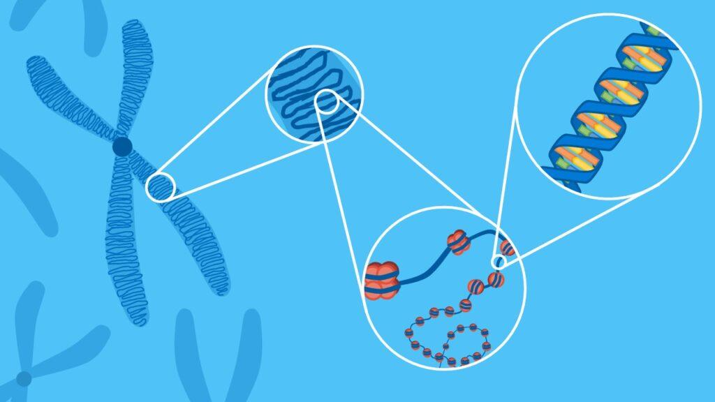 Chromosom, Chromatid, Zentromer, Nukleosom, Histon, Autosom, Gonosom, DNA