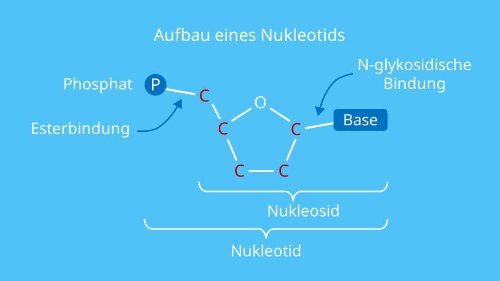 Aufbau eines Nukleotids, Zucker, Ribose, Phosphatrest, Phosphor, Base, RNA, DNA, Nukleosid, Nukleotid