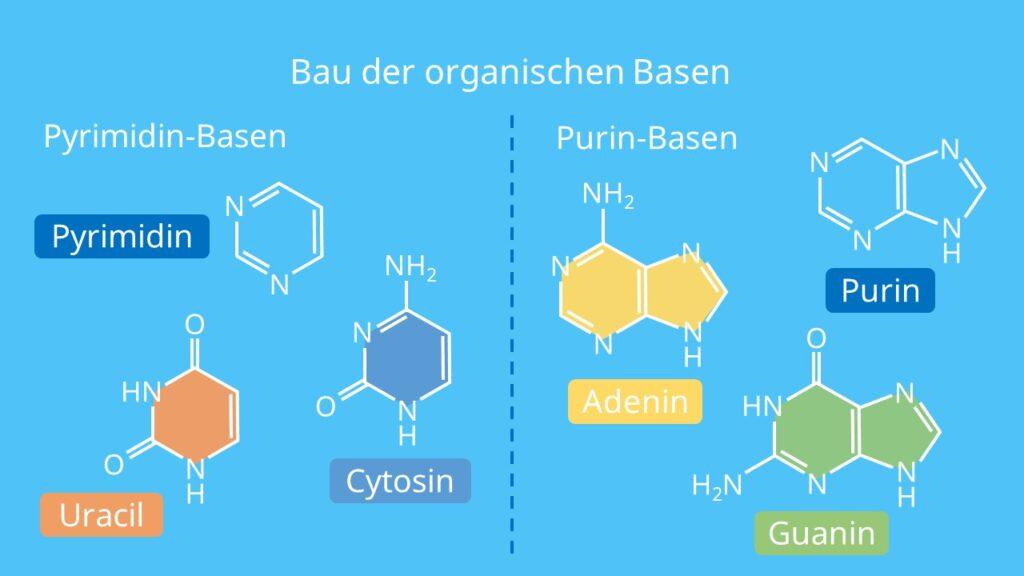 Bau der organischen Basen, Pyrimidine, Purine, Base, Adenin, Cytosin, Guanin, Uracil, RNA, mRNA