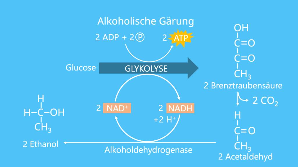 Glykolyse, Glucose, ATP, Brenztraubensäure, Gärung, alkoholische Gärung, Ethanol, Acetaldehyd