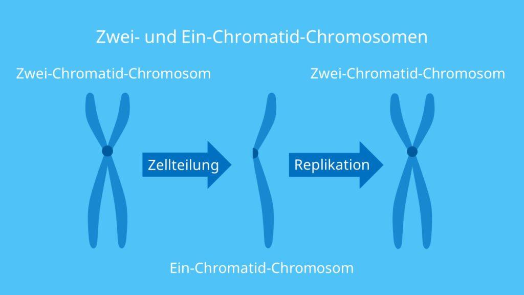 Zwei-Chromatid-Chromosomen, Ein-Chromatid-Chromosomen, Chromatid, Chromosom, Zellteilung, Kernteilung, Zentromer