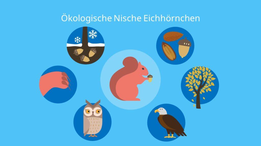 Ökologische Nische Eichhörnchen, Beispiel, Ökologie, Biologie, Eichhörnchen, Biotop, abiotische Faktoren, Biotische Faktoren, Umweltfaktoren