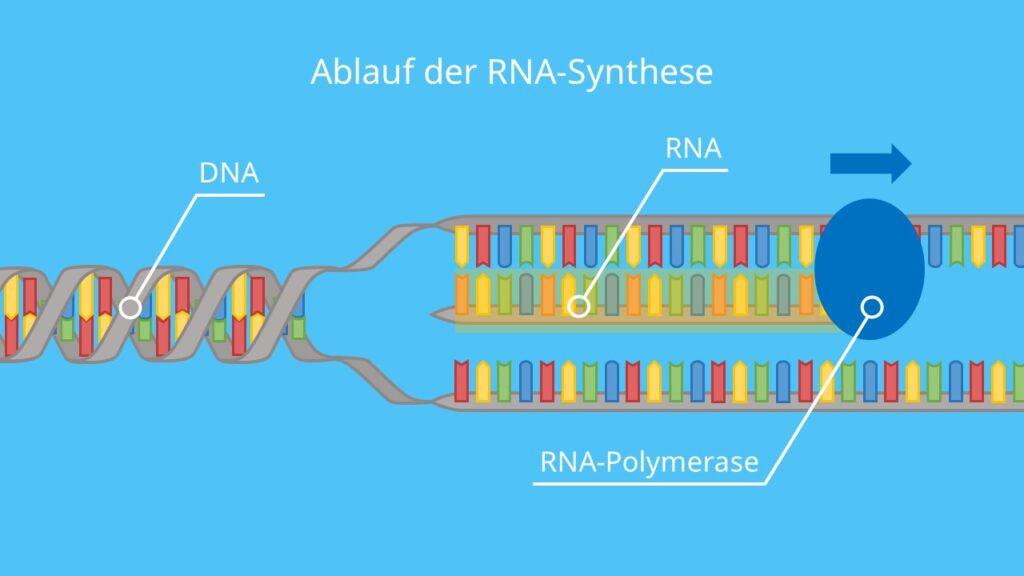 Ablauf der RNA-Synthese, Transkription, mRNA, rRNA, tRNA, RNA-Polymerase, DNA