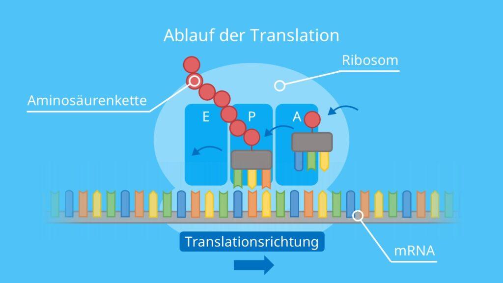 Ablauf der Translation, Ribosom, Proteinbiosynthese, tRNA, Aminosäurenkette, Proteinherstellung, mRNA