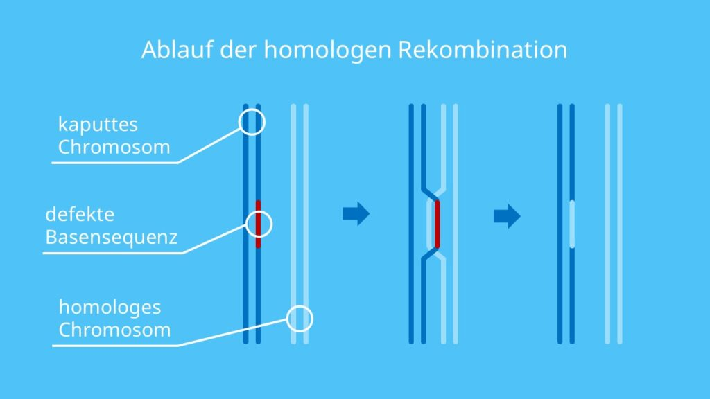 Ablauf der homologen Rekombination, Chromosomen, homologe Chromosomen, Rekombination, Rekombinase