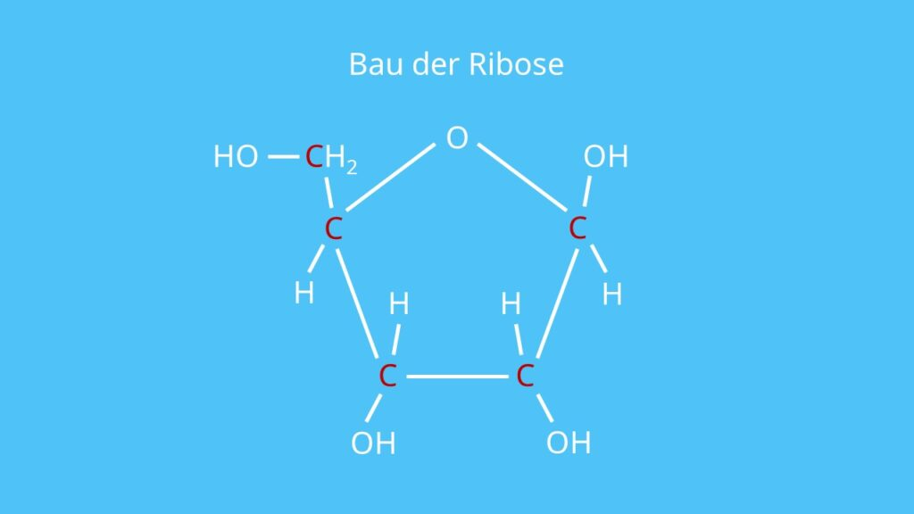Bau der Ribose, RNA, Pentose, Fünffachzucker