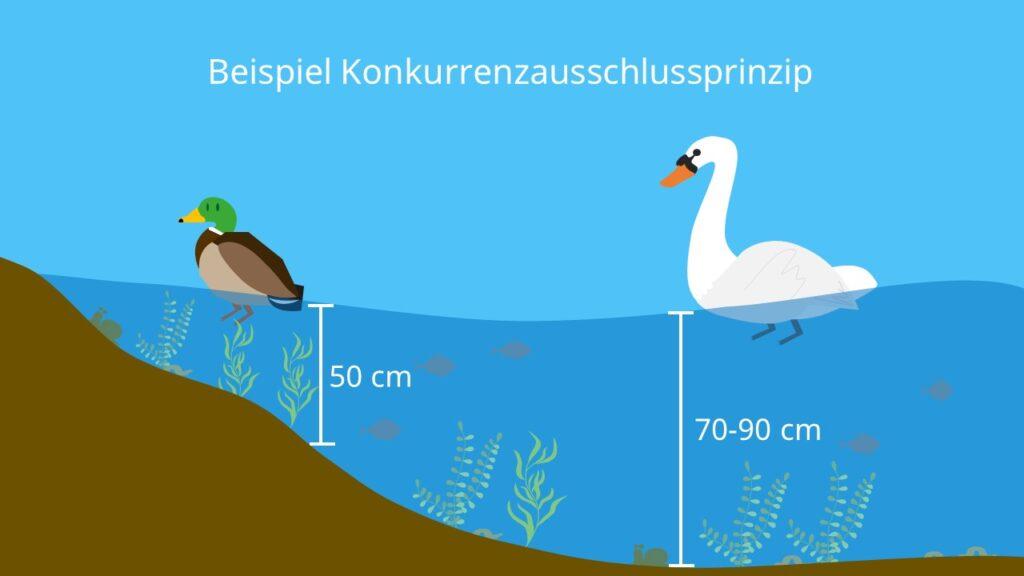 Ente, Schwan, Konkurrenzvermeidung, interspezifische Konkurrenz, ökologische Nische, See, Ökosystem
