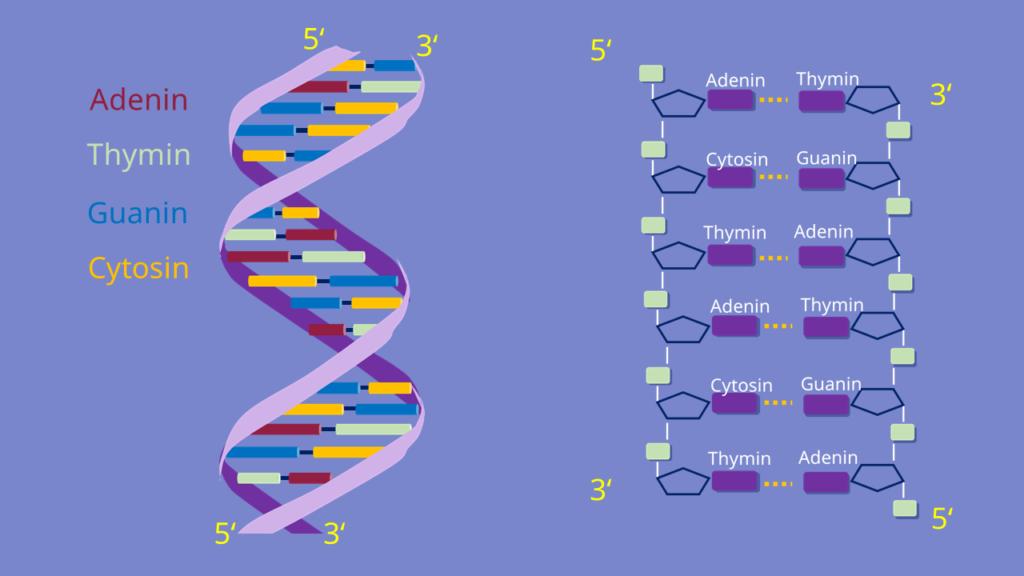 DNA Doppelhelix, Helix, DNA, komplementäre Basen, Desoxyribose, Wasserstoffbrückenbindungen, Adenin, Thymin, Guanin, Cytosin