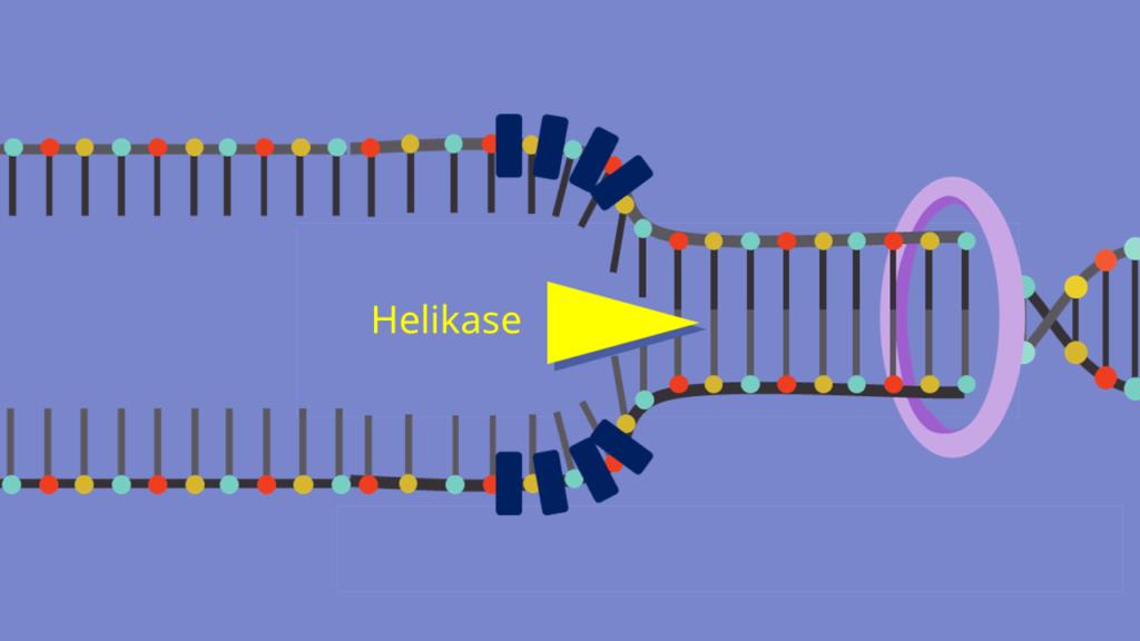 DNA Replikation, Doppelhelix, Wasserstoffbrückenbindungen, DNA Basen, Denaturierung, Replikationsgabel