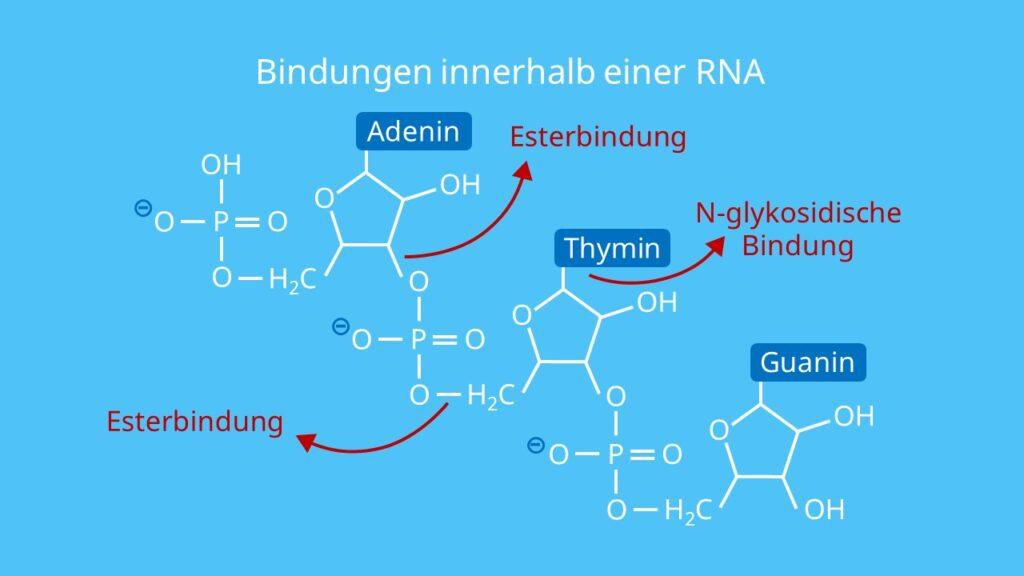 Bindungen innerhalb einer RNA, Esterbindung, N-Glykosidische Bindung, Nukleotid, Ribose, Base, Phosphatrest