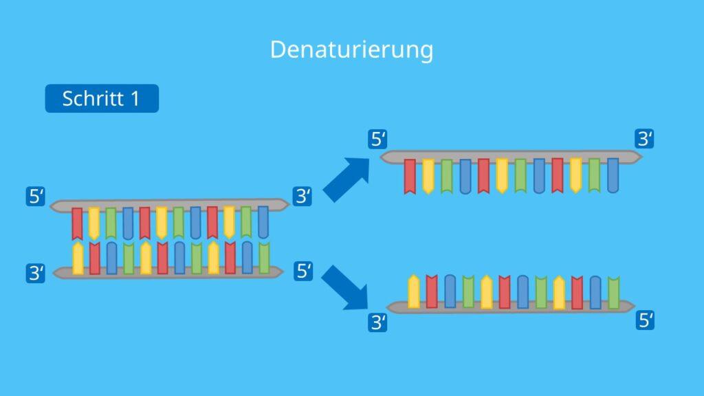 PCR, Polymerase Kettenreaktion, DNA, Nukleotide, DNA Polymerase, Primer, Denaturierung, Elongation, PCR Methode