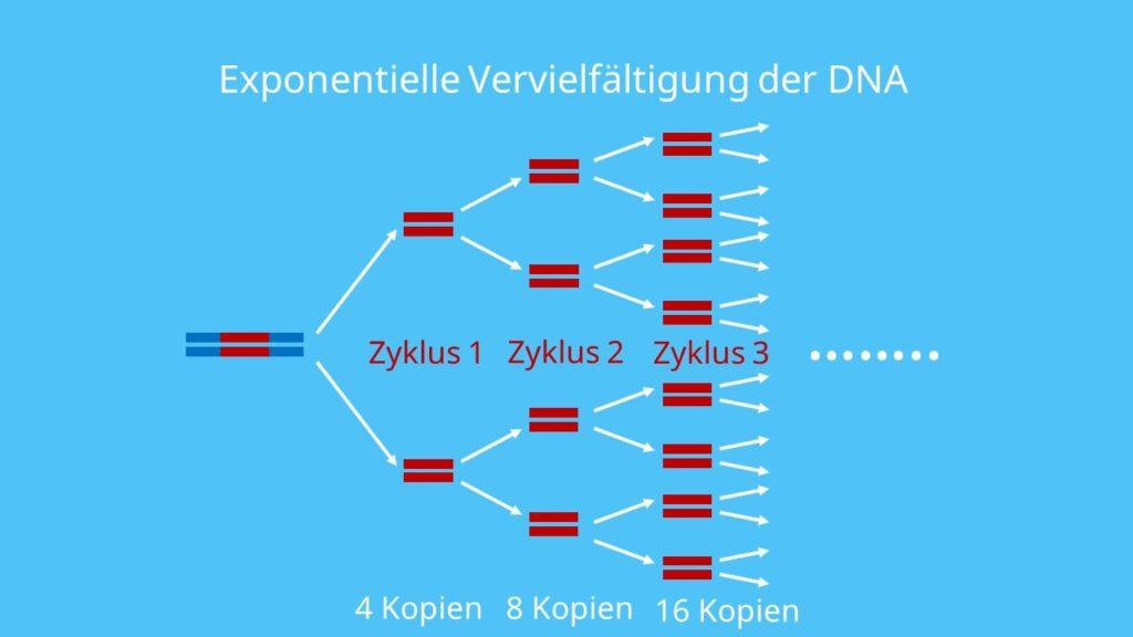 PCR, Polymerase Kettenreaktion, DNA, Nukleotide, DNA Polymerase, Primer, Denatuierung, Elongation, PCR Methode